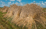 Sheaves of Wheat