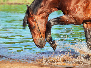 portrait of splashing bay horse