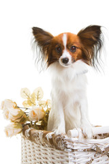 papillon dog in basket with flowers on isolated white