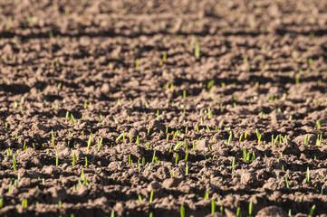 Wachsendes Getreide, Nahrungsmittel, Acker, Landwirtschaft