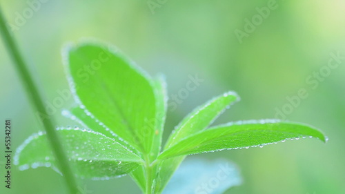Green clover leaves covered with dew. Rack focus and dolly in