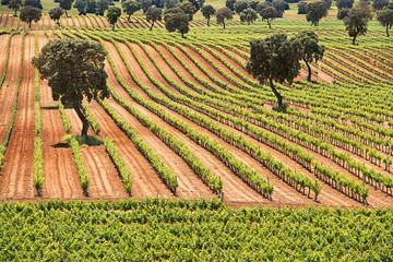 beautiful vineyard with holm oak