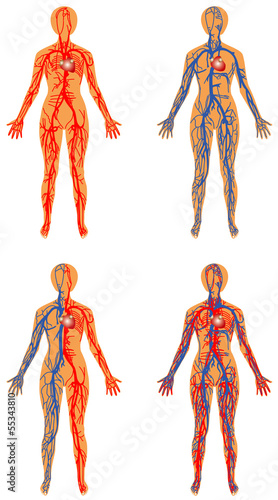 Human bloodstream - arterial and venous systems