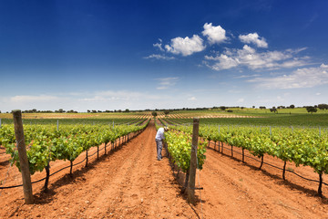 man working in a beautiful vineyard with blue sky