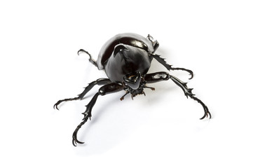 Male rhino beetle, Dynastinae isolated on white background.