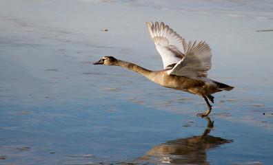 Молодой лебедь взлетает