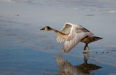 Молодой лебедь учится летать