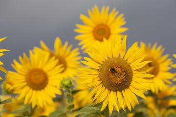 Sonnenblume kurz vor dem Regen