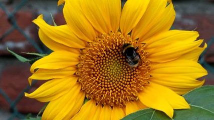 Hummel auf Sonnenblume (Bumblebee on sunflower)