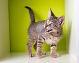 Kitten meowing poster