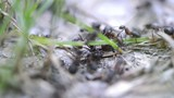 Ant Trail in the forest (macro video)