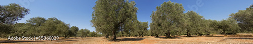 panoramic - olive trees
