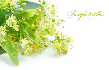 Flowers of linden tree on a white background