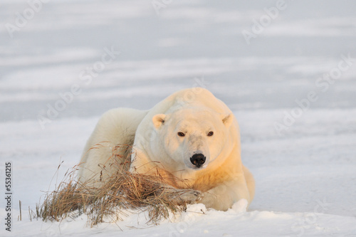 Polar bear lying on ice.