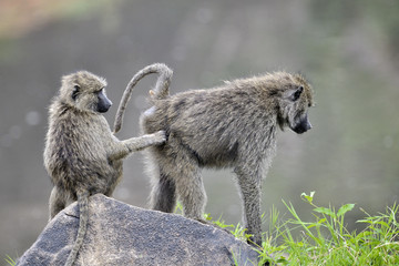 Young Olive Baboon grooming other Baboon