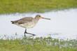 Black-tailed Godwit walking in water