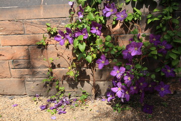 Beutiful violet clematis