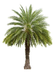 Old Date palm tree isolated on white