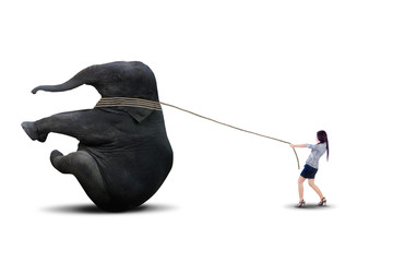 Asian business leader pulling elephant - isolated