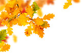 Branch of colorful autumn oak leaves with copy space