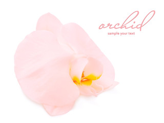 Pink orchid flower, isolated