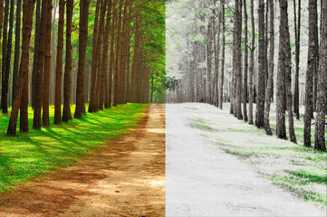 A pine forest taken in the morning at thailand - Season Change C