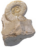 fossilized snail