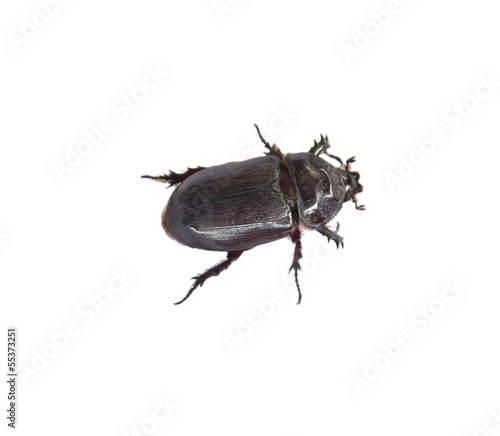 Dung Beetle  black on white background