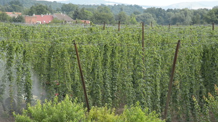 spraying in hop-garden