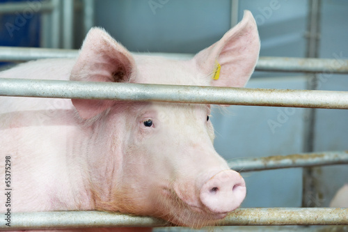 young pig in shed - 55375298