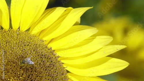 Bee working on Sunflower in slow motion, blue sky and sunny
