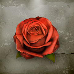 Red rose, old style