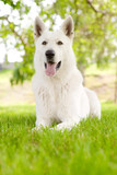 Purebred White Swiss Shepherd lying on the grass