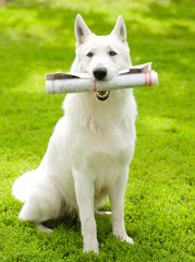 Purebred White Swiss Shepherd with newspaper
