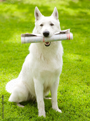 Purebred White Swiss Shepherd with newspaper