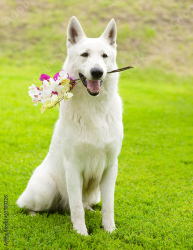 Purebred White Swiss Shepherd with a flower in its mouth