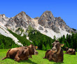 Herd of Cow in Dolomite Alps,Italy
