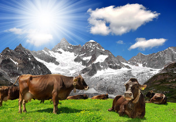 Herd of cows in the Swiss Alps