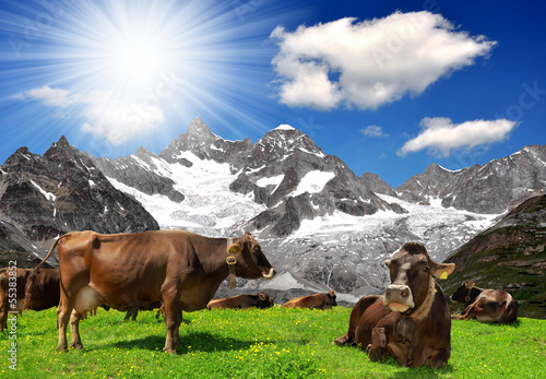 Herd of cows in the Swiss Alps