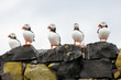 Five puffins in a row