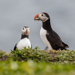 a puffin with fish