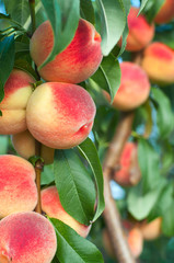 Peaches on the tree branches