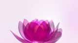 Beautiful Lotus Blossom