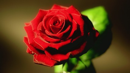 Blossoming Red Rose