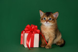 somali kitten sitting near a present box on green background
