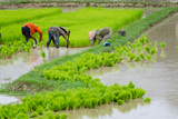 Laos farmer planting on the paddy rice farmland