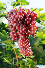 ripe red grape