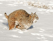 Running Bobcat