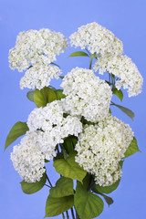Blue sky and white flowers
