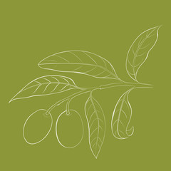 Two olives on branch with leaves isolated on green.